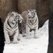 White tigers — Stock Photo