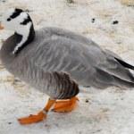 Female mallard duck on the lake — Stock Photo