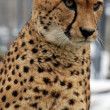 Cheetah — Stock Photo #7105379