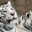 White tigers - Foto de Stock  