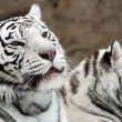 White tigers - Foto Stock