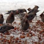 The bird is hawthorn berries — Stock Photo