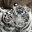 Stock Photo: White tigers