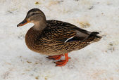 Female mallard duck on the lake — Stock Photo