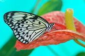 Güzel egzotik kelebek — Stok fotoğraf