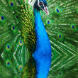 Peacock peafowl with his tail feathers — Stock Photo