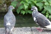 двух голубей в киото, япония — Стоковое фото