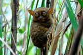 A Tarsier — Stock Photo