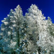 Winter spruce — Stock Photo
