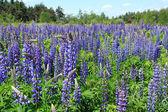 Lupin flowers — Stock Photo