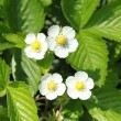 Woodland strawberry — Stockfoto