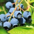 Northern highbush blueberry - Stock Photo