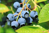 Northern highbush blueberry — Stock Photo