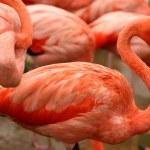 Red exotic bird - flamingo — Stock Photo