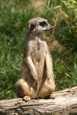 Sitting suricate — Stock Photo
