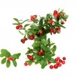 Cowberry — Stock Photo #7517225