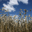 wheat and sky — Stock Photo