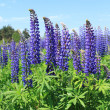 Lupine — Stock Photo #7960560