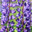 Lupine — Stock Photo #7962296