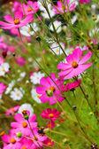 Magenta flowers — Stock Photo