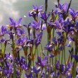Blue iris - iris spuria — Stock Photo #7174520