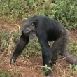 Walking chimpanzee - 图库照片