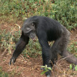 Walking chimpanzee - Stockfoto