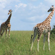 Sunny scenery with Giraffes in Uganda - Stock Photo
