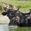 AfricBuffalos in sunny ambiance — Stock Photo #7117079