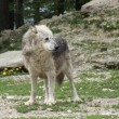 Gray Wolf in natural ambiance - 图库照片