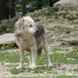 Gray Wolf in natural ambiance - Stock Photo