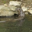 Otter in waterside ambiance — стоковое фото #7117287