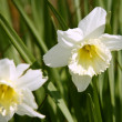 Stock Photo: Daffodil flower in leavy green back