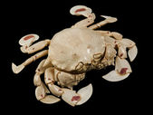 Moon crab in black back — Stock Photo