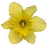 Yellow daffodil flower on white — Stock Photo