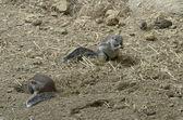 Zemní veverky — Stock fotografie