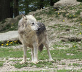 Gray Wolf in natural ambiance — Photo