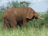 Brown Elephant in Africa — Stock Photo