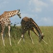 Giraffes in african savannah — Stock Photo