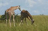 Giraffes in african savannah — Stock Photo