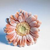 Iced gerbera flower — Stock Photo