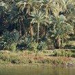 Stock Photo: Waterside Nile vegetation