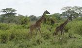 Two Giraffes walking through green vegetation — Stock Photo