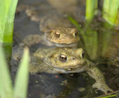 Common toads in a pond — Stock Photo