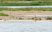 Nile crocodile waterside — Stock Photo