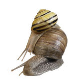Two snails on each other — Stock Photo