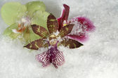 Three orchid flowers in the snow — Foto de Stock