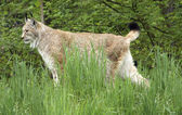 Eurasian Lynx in natural back — Stock Photo