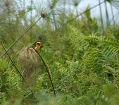 Little Bee-eater in green vegetation — Stock Photo