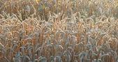 Sunny wheat field detail — Stock Photo